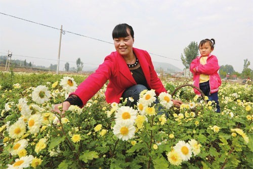 Chrysanthemum Flowers Bring Fortune to Ancient Town