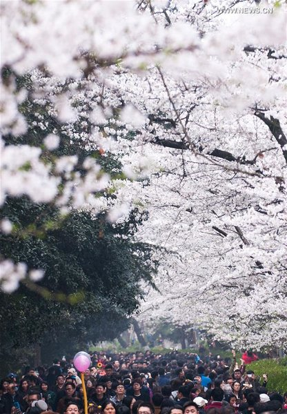 people view cherry blossoms at c china s wuhan university all