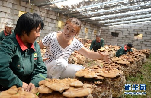 Former Teacher Brings Prosperity to Mountains via Fungi Business
